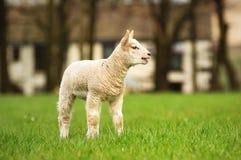 Nuovo agnello Fotografie Stock Libere da Diritti