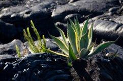 Nuovo aloe vera vicino a flusso di lava di Kalapana Fotografia Stock Libera da Diritti