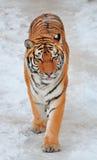 Nuovo anno della tigre Fotografia Stock Libera da Diritti