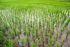Nuovo campo di risaia nel Nord della Tailandia Immagine Stock Libera da Diritti