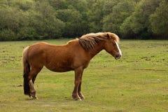 Nuovo cavallino della foresta Immagine Stock