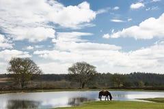 Nuovo cavallino della foresta che pasce dallo stagno alla vista di Bratley Fotografia Stock Libera da Diritti