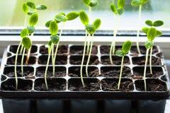 Nuovo cetriolo dei germogli con le foglie verdi Immagine Stock Libera da Diritti
