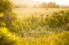 Nuovo concetto di giorno: alba vibrante di estate attraverso l'erba alta con i punti culminanti gialli Fotografie Stock
