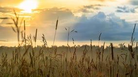 Nuovo concetto di inizio: alba vibrante di estate attraverso l'erba alta con i punti culminanti di rosso e gialli, le nuvole blu  Fotografie Stock Libere da Diritti