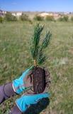 Nuovo concetto di vita Primo piano delle mani che tengono una piantina sempreverde del pino da piantare nel suolo Fotografia Stock