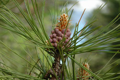 Nuovo cono del pino Fotografia Stock