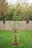 Nuovo di melo piantato in un giardino immagine stock