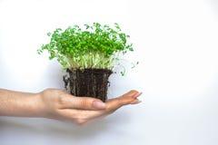 Nuovo eco dei becchi della pianta verde immagine stock