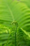 Nuovo Fern Leaf fotografia stock