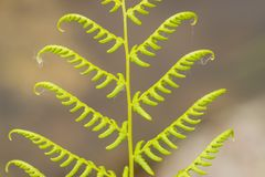 Nuovo Fern Leaf - spiegamento fotografia stock libera da diritti