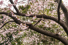 Nuovo fiore di ciliegia in primavera in anticipo, Tokyo, Giappone Immagine Stock Libera da Diritti