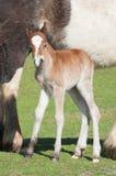 Nuovo foal Fotografia Stock