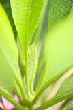 Nuovo foglio della pianta di plumeria Immagine Stock