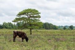 Nuovo Forest Cow Fotografia Stock