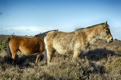 Nuovo Forest Ponies fotografia stock