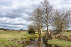 Nuovo Forest Pony fotografie stock