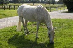 Nuovo Forest Pony grigio Fleabitten che pasce Fotografie Stock
