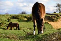 Nuovo Forest Pony, Hampshire, Regno Unito Fotografie Stock