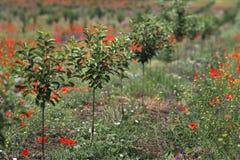 Nuovo frutteto di ciliegia in molla tarda Fotografie Stock Libere da Diritti