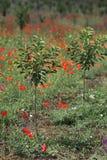 Nuovo frutteto di ciliegia in molla tarda Fotografia Stock