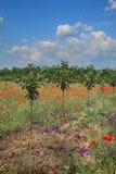 Nuovo frutteto di ciliegia in molla tarda Fotografie Stock