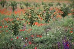 Nuovo frutteto di ciliegia in molla tarda Fotografia Stock Libera da Diritti