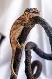 Nuovo Gecko caledoniano fotografia stock