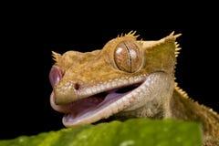 Nuovo Gecko caledoniano Fotografia Stock Libera da Diritti