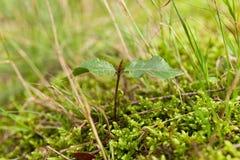Nuovo germoglio vita della pianta Seme di crescita fotografia stock