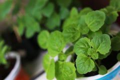 Nuovo giardino del vaso della pianta Immagini Stock Libere da Diritti