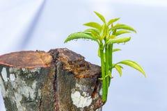 Nuovo piccolo albero verde del primo piano con goccia di acqua Immagine Stock
