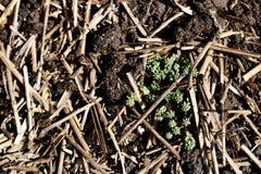 Nuovo primo piano della pianta sui precedenti di fertilizzante e di paglia nel giardino immagine stock libera da diritti