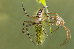 Nuovo ragno del vecchio ragno Fotografia Stock