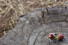 Nuovo ramoscello dei pini Immagine Stock