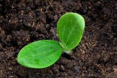 Nuovo semenzale Fotografia Stock Libera da Diritti
