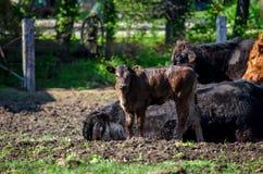 Nuovo vitello del bambino in recinto chiuso Fotografia Stock