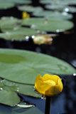 Nuphar lurea. Or brandy-bottle or candock or yellow water  lily or water-bean Royalty Free Stock Images