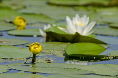 Nuphar lutea. Or brandy-bottle or candock or yellow water lily or water-bean Royalty Free Stock Images
