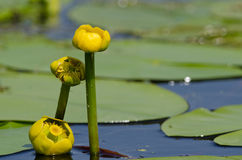Nuphar lutea royalty free stock images