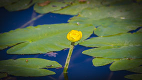 Nuphar lutea Royalty Free Stock Photography