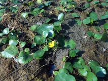 Nuphar lutea, die gelbe Seerose Stockbilder