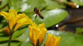 Nuphar Lutea o ninfee gialle con atterraggio e la spruzzatura della vespa delle goccioline di acqua fotografia stock