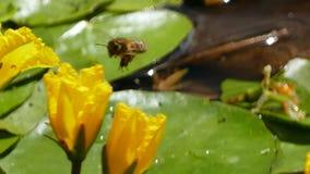Nuphar Lutea o ninfee gialle con atterraggio e la spruzzatura della vespa delle goccioline di acqua fotografia stock libera da diritti