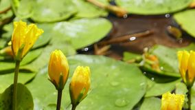 Nuphar Lutea or yellow water lilies with large green petals Royalty Free Stock Images