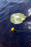 Nuphar lutea Stock Photo