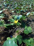 Nuphar lutea, the yellow water-lily Royalty Free Stock Photography