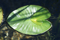 Nuphar polysepala, yellow pond lily Stock Image