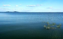 Nuphar variegata Nuphar lutea, liście cordate na Jeziornym Balaton, Węgry Zdjęcie Royalty Free