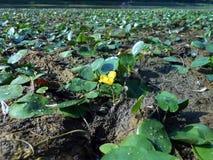 Nupharlutea, den gula näckrons Royaltyfri Bild